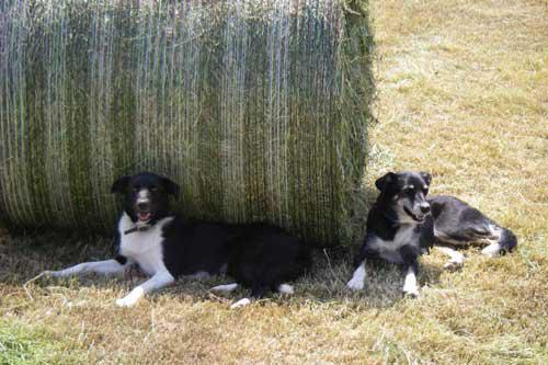 Our Farm Dogs